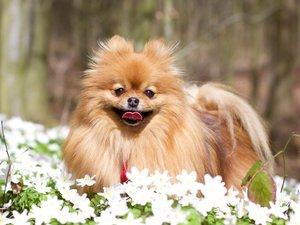 可爱的博美犬
