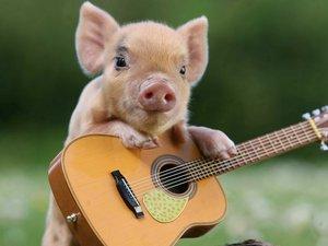 小猪弹吉他