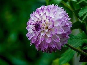 美丽的大丽花