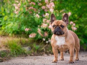 忠诚的法国斗牛犬