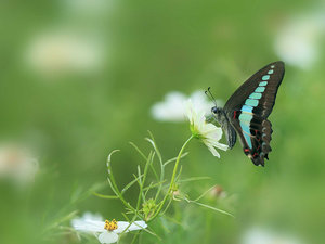 传播花粉的花蝴蝶