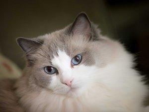 可爱的布偶猫