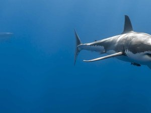 深海里的凶猛鲨鱼
