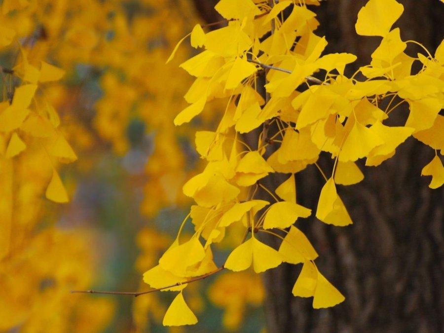 秋天的树叶简笔画枫叶内容秋天的树叶简笔画枫叶