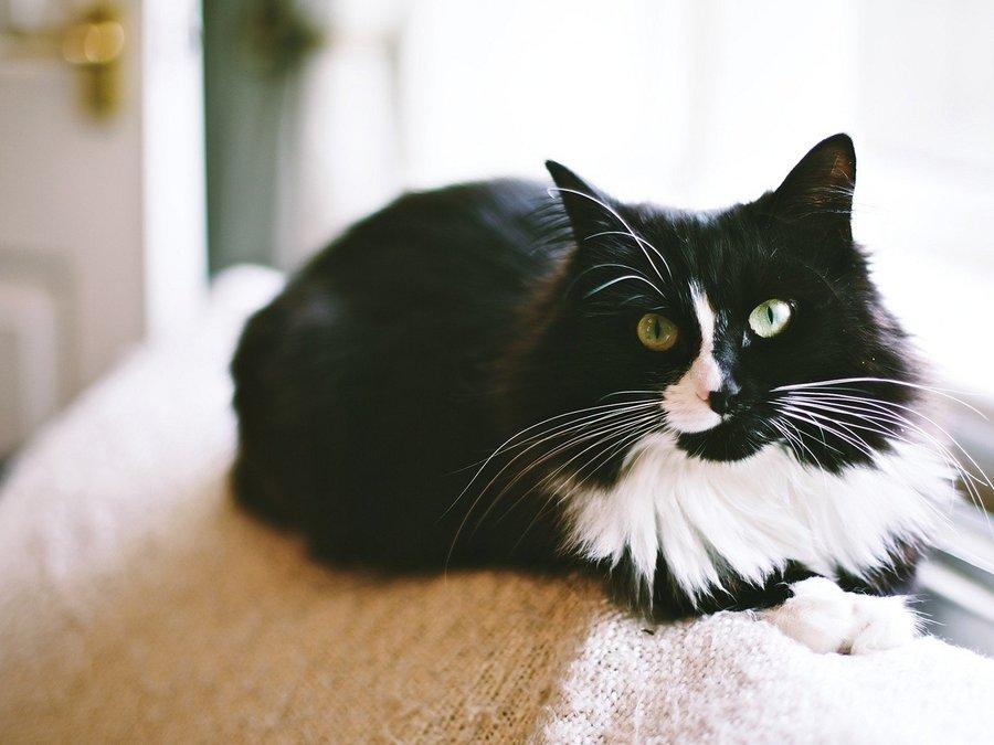 可爱黑白猫咪