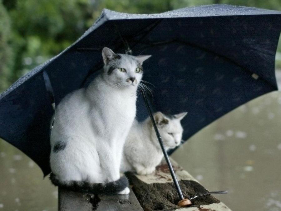 可爱小猫遮伞图片