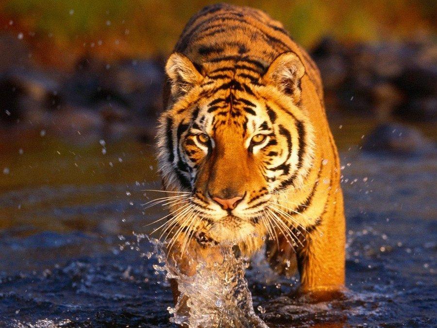 野生动物老虎