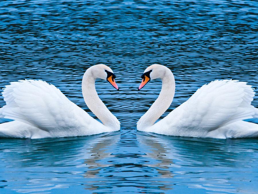 手绘风景黑白装饰画 动物天鹅