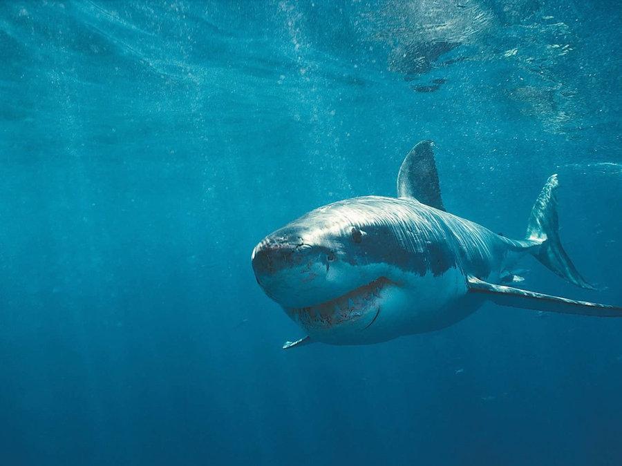 鲨鱼是几级保护动物