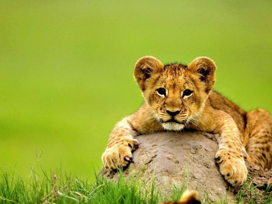 可爱小狮子