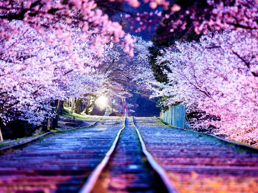 夜幕下的樱花小道