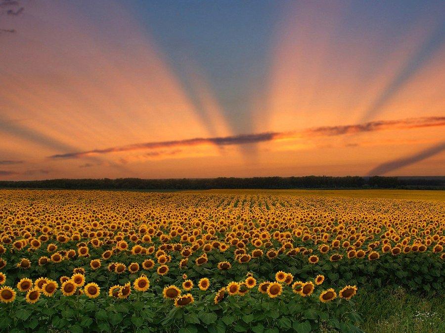 阳光下的向日葵花海