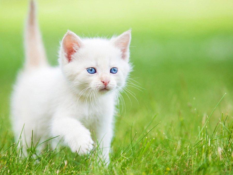 可爱的蓝眼白猫