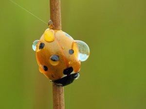 停留的黄色瓢虫