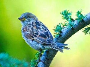 树枝上的麻雀
