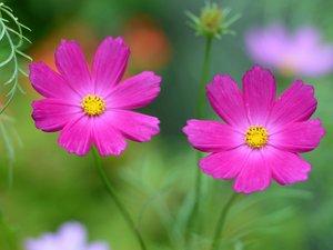 小清新花卉波斯菊
