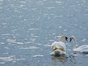 湖中的天鹅