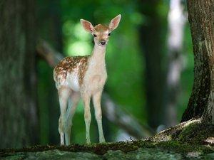孤单的小鹿