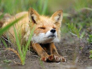 伸懒腰的狐狸