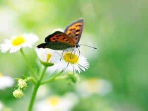 采花粉的花蝴蝶