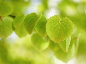 小清新爱心绿叶