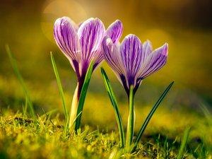 美丽的紫色番红花