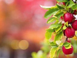 树上的红苹果