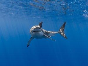 强壮勇猛的鲨鱼