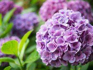 美丽的绣球花