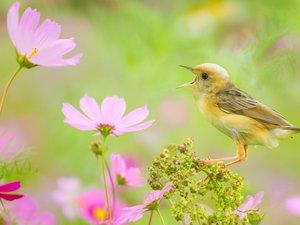 波斯菊上的小鸟