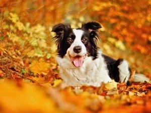 秋天里的边境牧羊犬