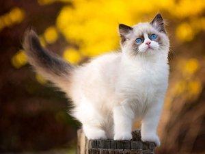 布拉多尔猫